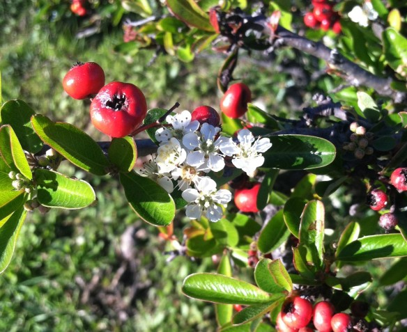 Pyracantha angustifolia growing wild near Cesar Chavez park